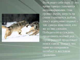 Волк ищет себе пару. В это время самцы становятся непримиримыми. Они громко р