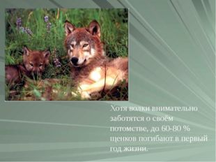 Хотя волки внимательно заботятся о своём потомстве, до 60-80% щенков погибаю
