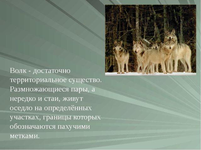 Волк- достаточно территориальное существо. Размножающиеся пары, а нередко и...