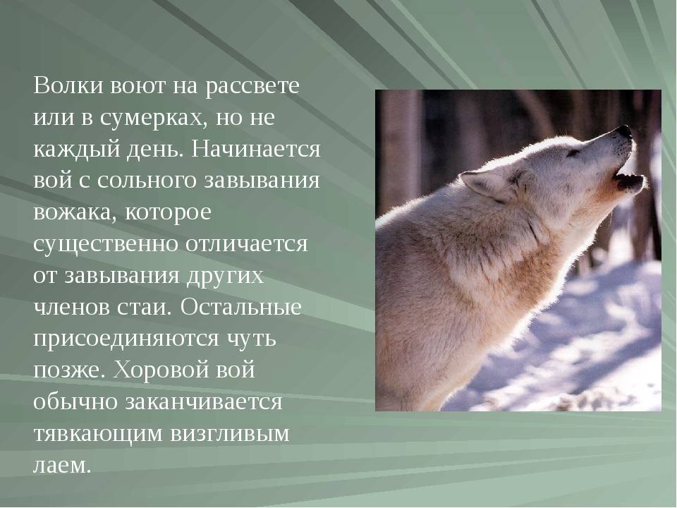 Волки воют на рассвете или в сумерках, но не каждый день. Начинается вой с со...