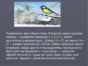 Подвижная, вертлявая птица. В Европе самая крупная синица— размером примерно