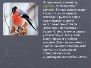 Птица мелких размеров, своробья, хотя выглядит крупнее. Голова сверху вокруг