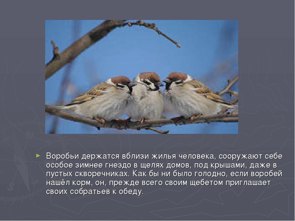 Воробьи держатся вблизи жилья человека, сооружают себе особое зимнее гнездо в...