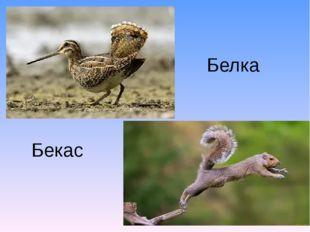 Бекас Белка