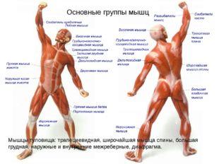 Основные группы мышц Мышцы туловища: трапециевидная, широчайшая мышца спины,