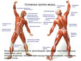 Основные группы мышц Мышцы верхней конечности: дельтовидная, двуглавая, трехг