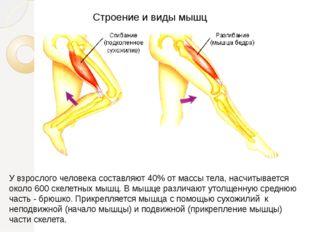 Строение и виды мышц У взрослого человека составляют 40% от массы тела, насчи