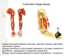Строение и виды мышц Форма мышц разнообразна: длинные, короткие, широкие, дву