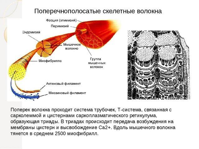 Поперечнополосатые скелетные волокна Поперек волокна проходит система трубоче...