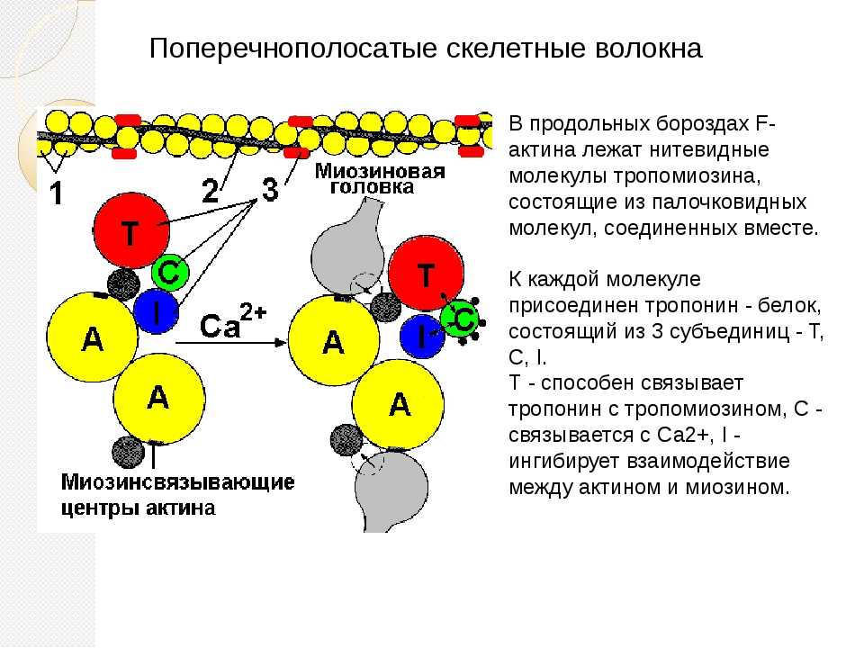 Поперечнополосатые скелетные волокна В продольных бороздах F-актина лежат нит...
