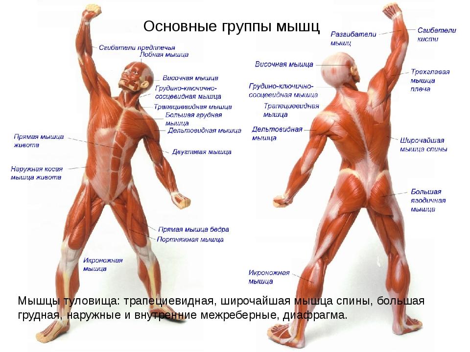 Основные группы мышц Мышцы туловища: трапециевидная, широчайшая мышца спины,...