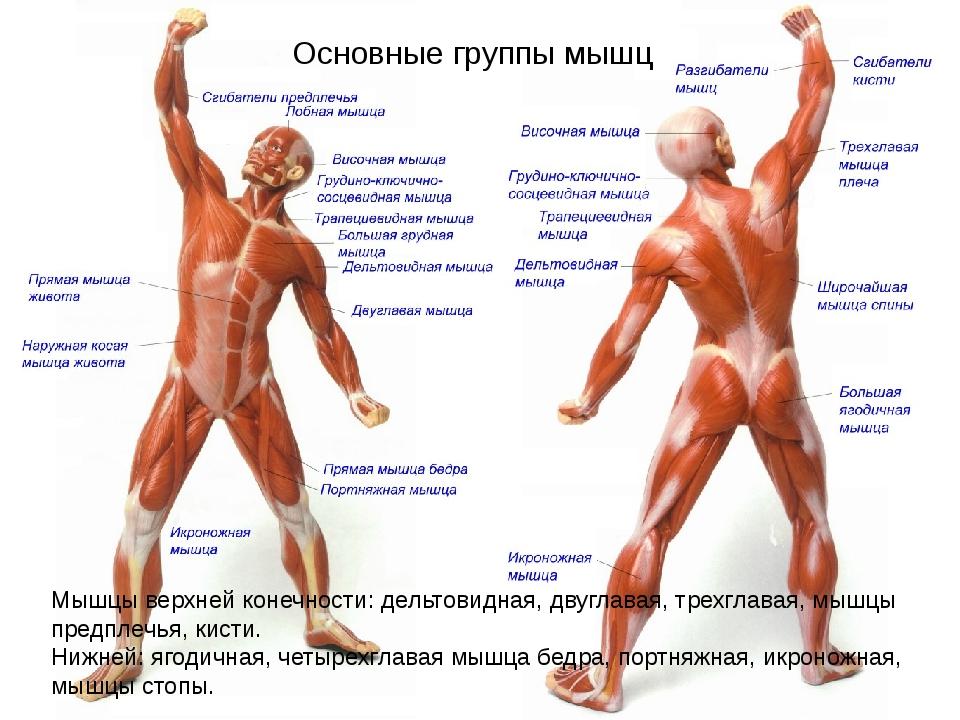 Основные группы мышц Мышцы верхней конечности: дельтовидная, двуглавая, трехг...