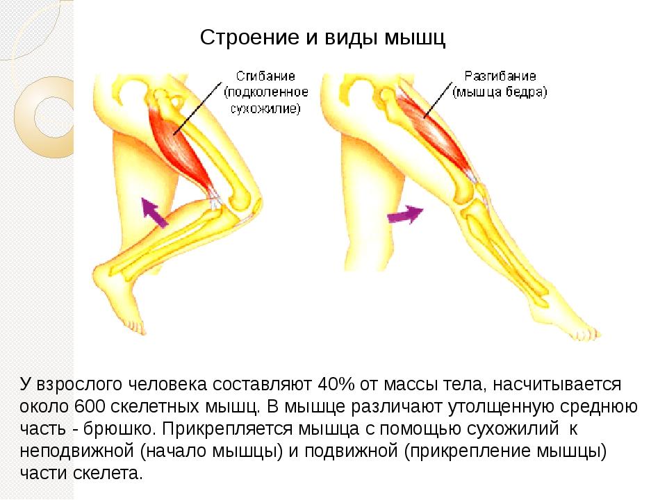 Строение и виды мышц У взрослого человека составляют 40% от массы тела, насчи...