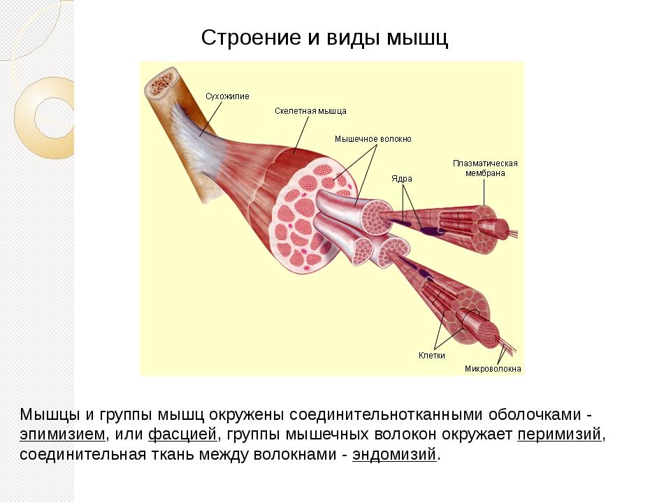 Строение и виды мышц Мышцы и группы мышц окружены соединительнотканными оболо...