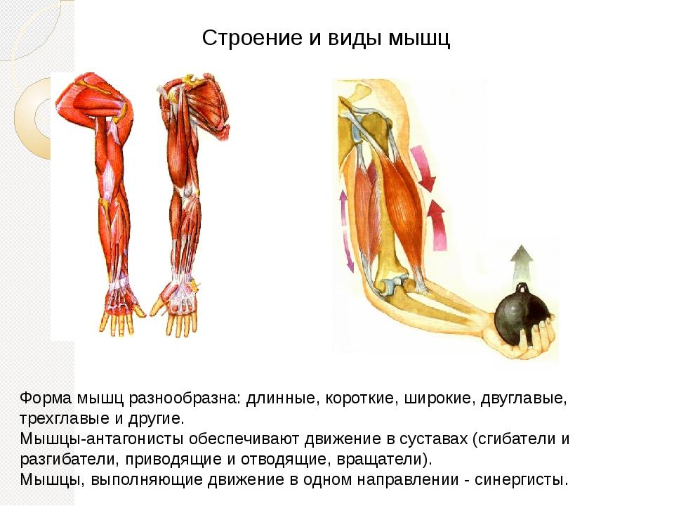 Строение и виды мышц Форма мышц разнообразна: длинные, короткие, широкие, дву...