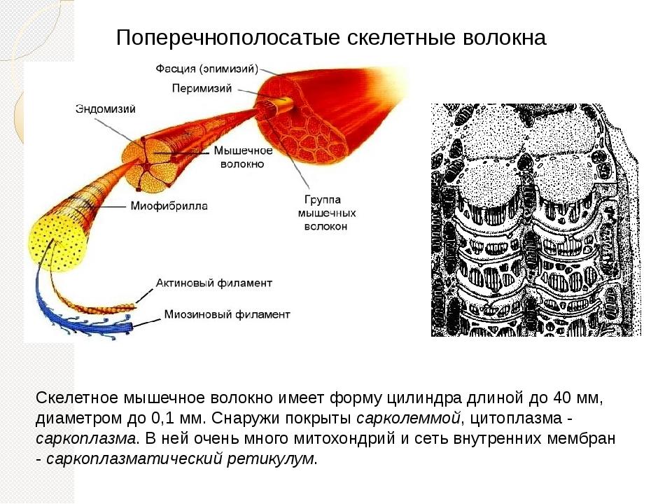 Поперечнополосатые скелетные волокна Скелетное мышечное волокно имеет форму ц...