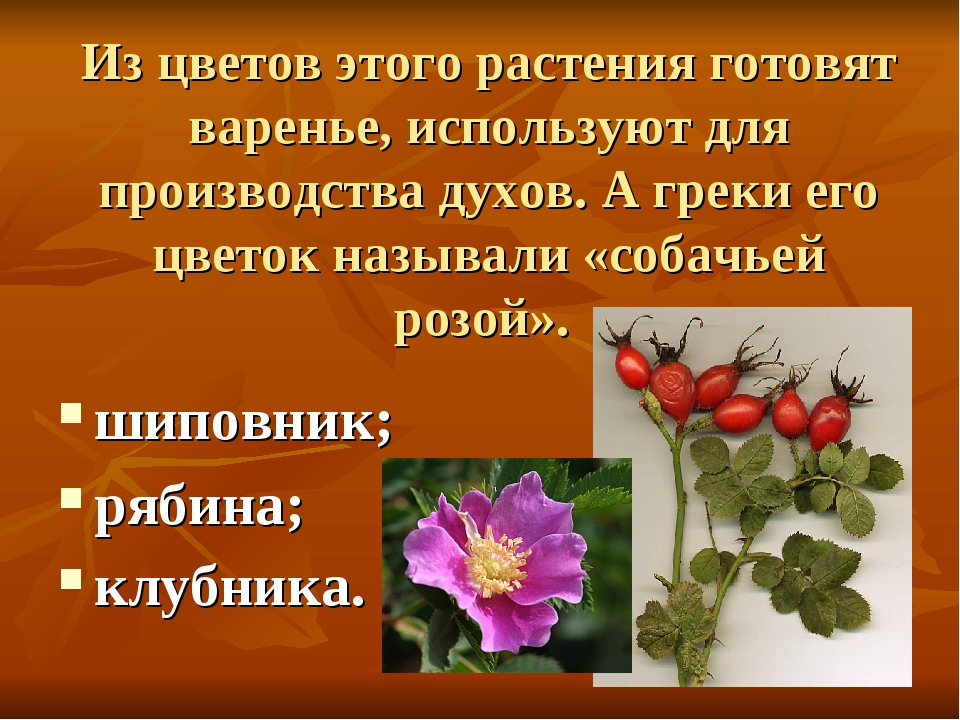 Из цветов этого растения готовят варенье, используют для производства духов....