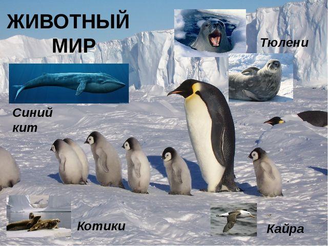 ЖИВОТНЫЙ МИР Тюлени Котики Синий кит Кайра