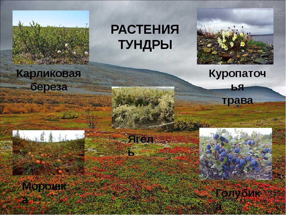 Карликовая береза Куропаточья трава Морошка Ягель Голубика РАСТЕНИЯ ТУНДРЫ