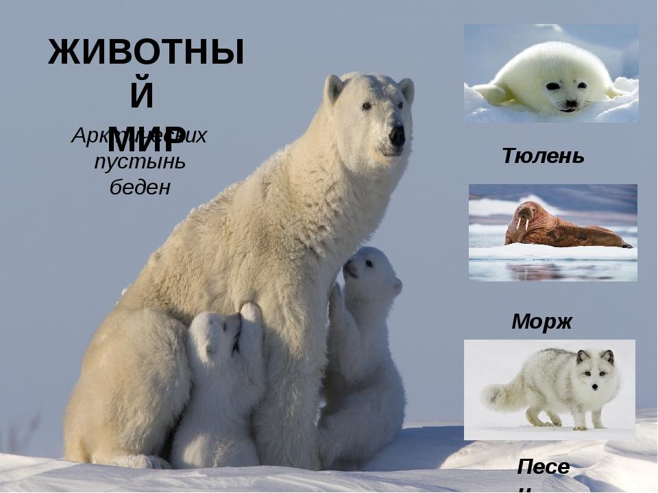 ЖИВОТНЫЙ МИР Тюлень Морж Песец Арктических пустынь беден