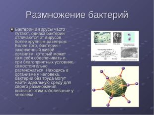 Размножение бактерий Бактерии и вирусы часто путают, однако бактерии отличают