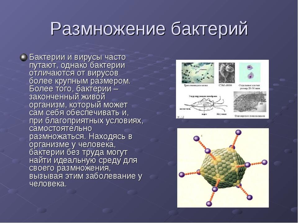 Размножение бактерий Бактерии и вирусы часто путают, однако бактерии отличают...