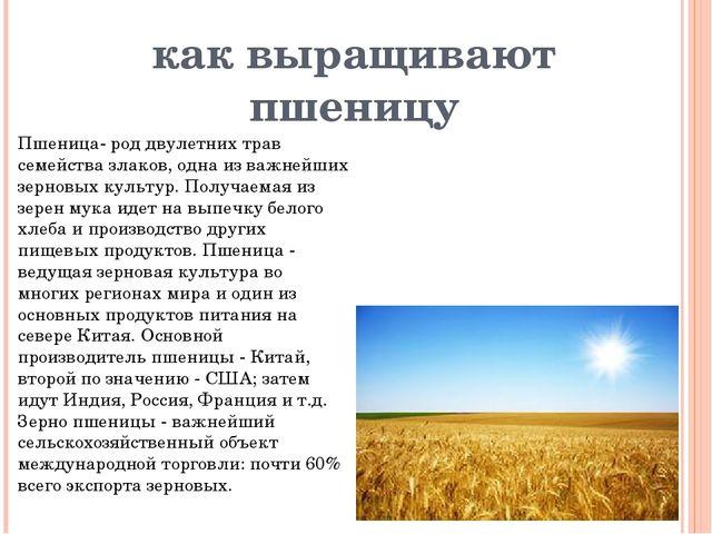 как выращивают пшеницу Пшеница- род двулетних трав семейства злаков, одна из...