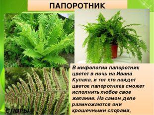 ПАПОРОТНИК СПОРЫ ПАПОРОТНИКА В мифологии папоротник цветет в ночь на Ивана Ку