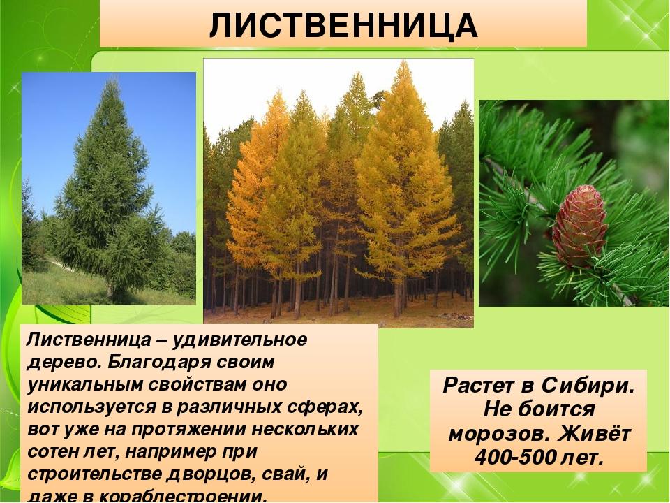 ЛИСТВЕННИЦА Растет в Сибири. Не боится морозов. Живёт 400-500 лет. Лиственниц...
