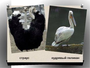 страус кудрявый пеликан