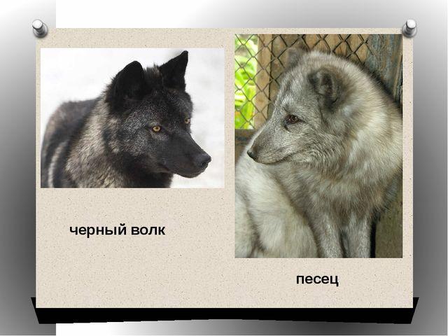 песец черный волк