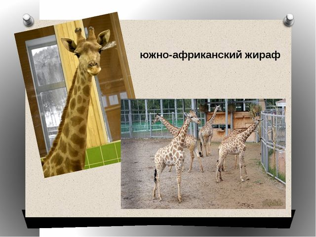 южно-африканский жираф