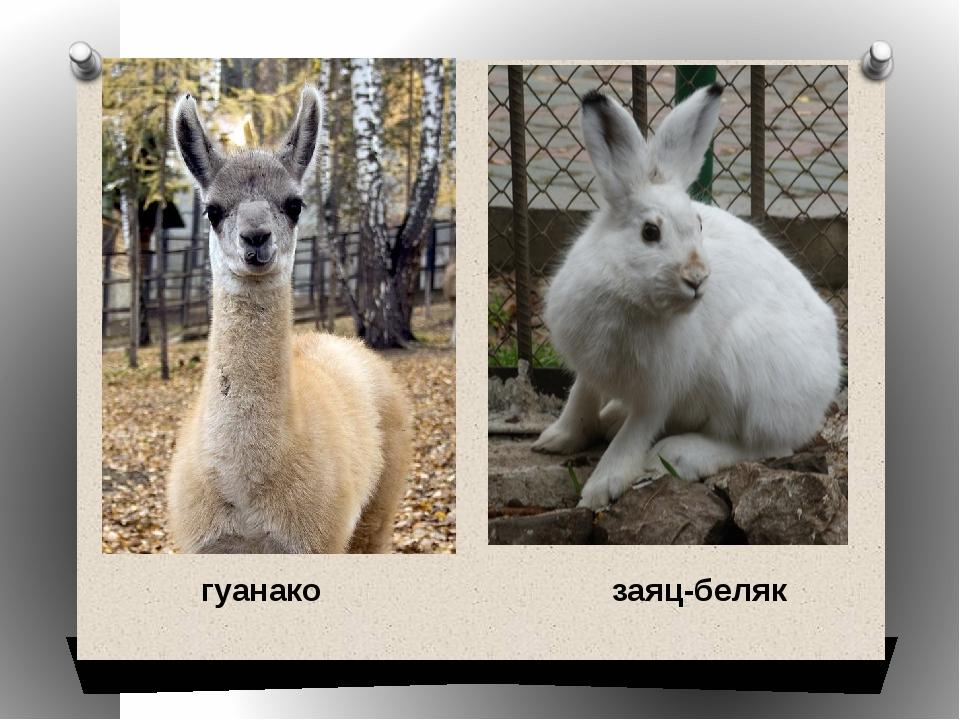 гуанако заяц-беляк