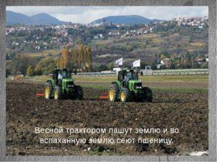 Весной трактором пашут землю и во вспаханную землю сеют пшеницу.