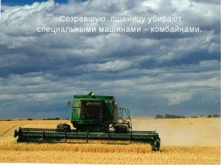 Созревшую пшеницу убирают специальными машинами – комбайнами.
