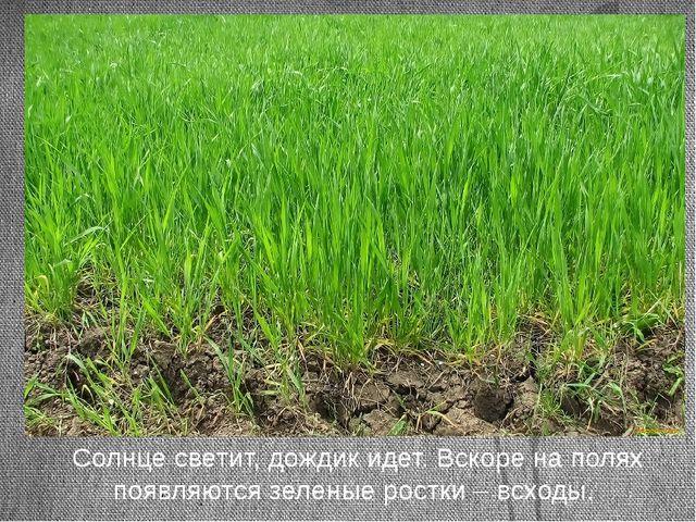 Солнце светит, дождик идет. Вскоре на полях появляются зеленые ростки – всхо...