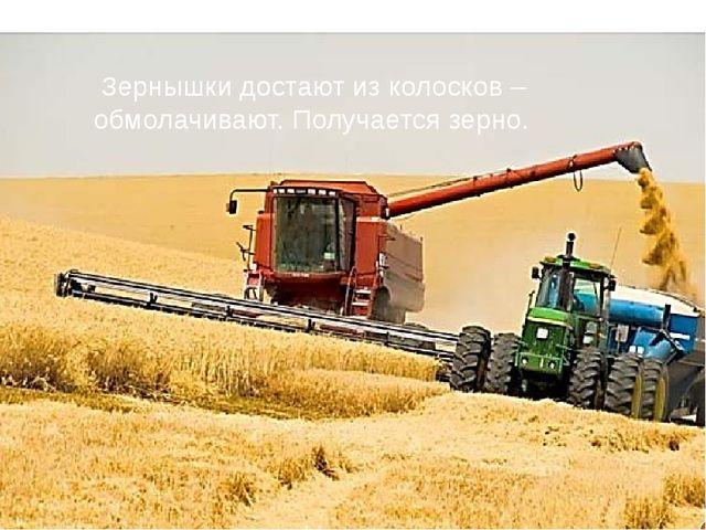 Зернышки достают из колосков – обмолачивают. Получается зерно.