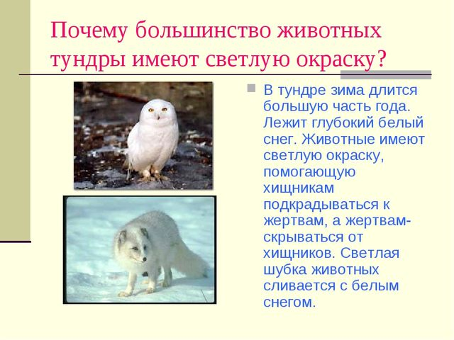 Почему большинство животных тундры имеют светлую окраску? В тундре зима длитс...