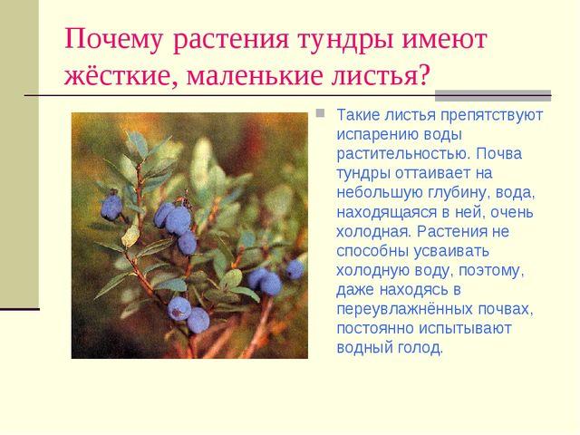 Почему растения тундры имеют жёсткие, маленькие листья? Такие листья препятст...