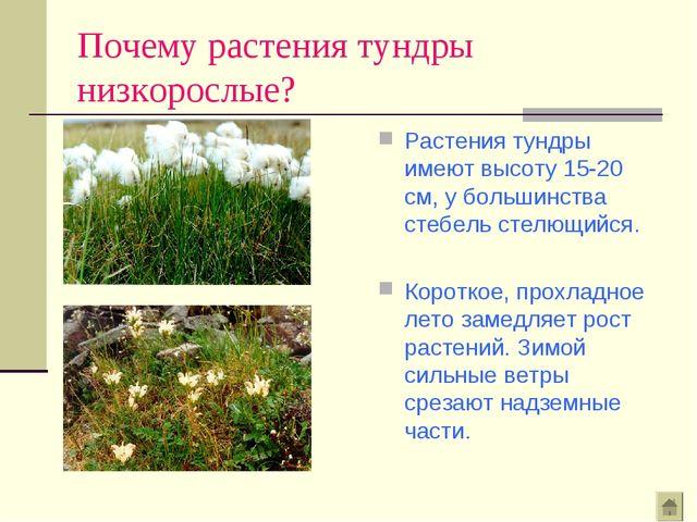 Почему растения тундры низкорослые? Растения тундры имеют высоту 15-20 см, у...