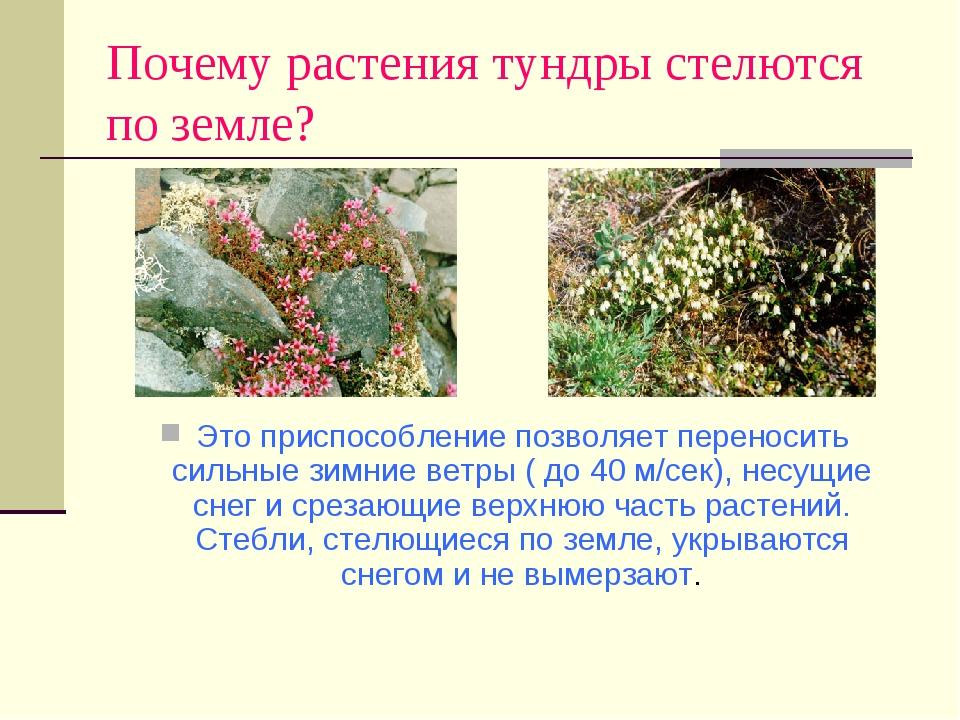 Почему растения тундры стелются по земле? Это приспособление позволяет перено...