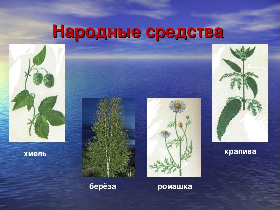 Народные средства хмель берёза крапива ромашка