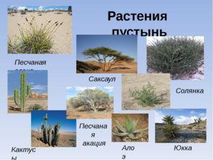 Растения пустынь Песчаная осока Солянка Кактусы Саксаул Песчаная акация Юкка