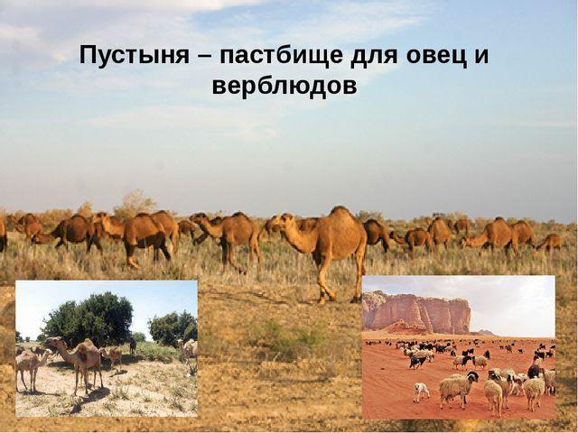 Пустыня – пастбище для овец и верблюдов