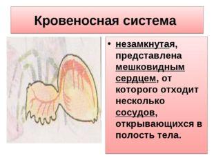 Кровеносная система незамкнутая, представлена мешковидным сердцем, от которог