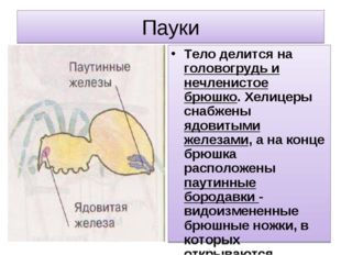 Пауки Тело делится на головогрудь и нечленистое брюшко. Хелицеры снабжены ядо
