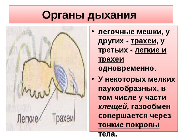 Органы дыхания легочные мешки, у других - трахеи, у третьих - легкие и трахеи...
