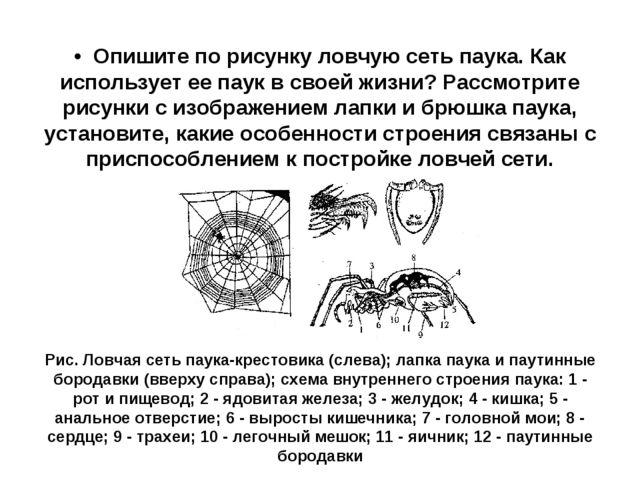 • Опишите по рисунку ловчую сеть паука. Как использует ее паук в своей жизн...