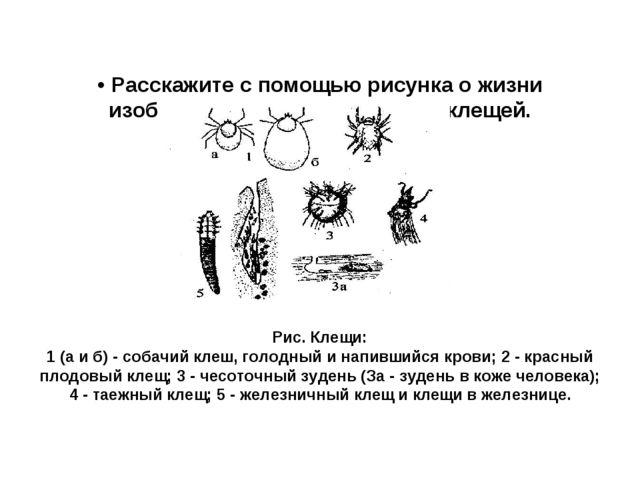 • Расскажите с помощью рисунка о жизни изображенных паразитических клещей. Ри...
