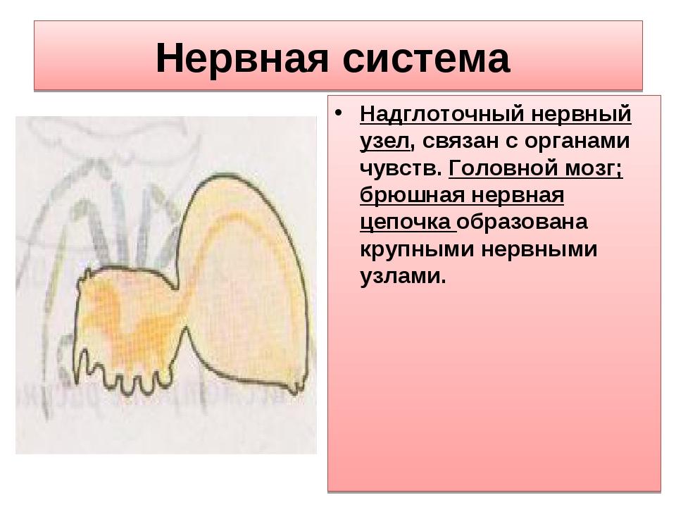 Нервная система Надглоточный нервный узел, связан с органами чувств. Головной...